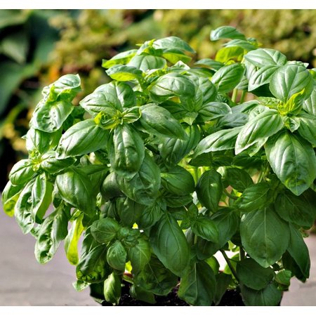 "Dolce Fresca Sweet Basil Herb - Strong Scent/Flavor - Vigorous Plant - 3"" Pot"