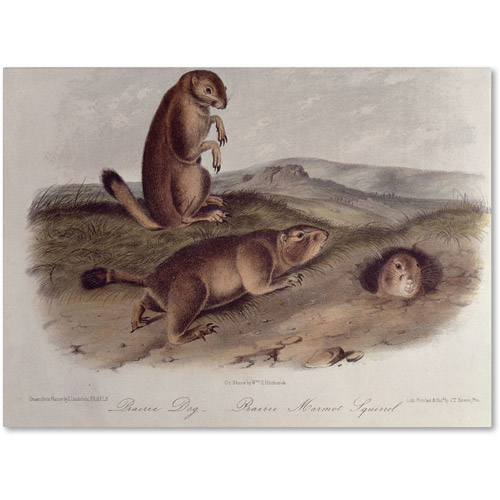 "Trademark Fine Art ""Prairie Dog"" Canvas Art by John James Audubon"