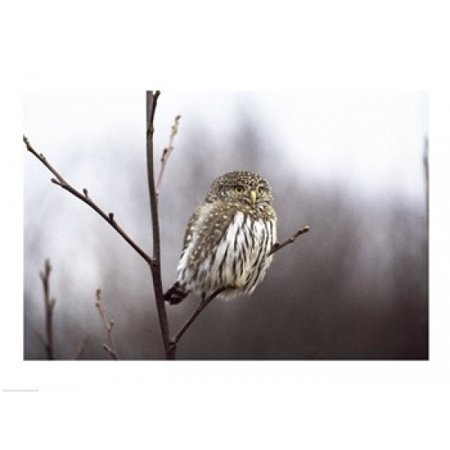 Pygmy Owl Canvas Art     24 X 18