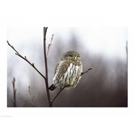 Pygmy Owl Poster Print  24 X 18