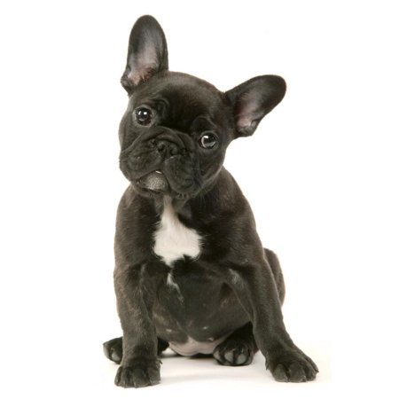 French Bulldog Puppy Print Wall Art (French Bulldog Puppies For Sale In Canada)