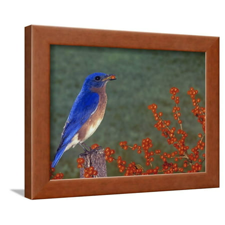 Male Eastern Bluebird, Sialia Sialis, Eating a Red Berry, North America Framed Print Wall Art By Gay Bumgarner - Man Eating Plant