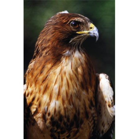 Red Tailed Hawk Poster Print by Natural Selection Ralph Curtin, 24 x 36 - Large - image 1 of 1