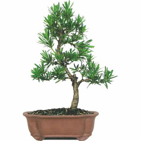 Brussels Podocarpus Micro Phyllus Bonsai - Medium - (Outdoor)