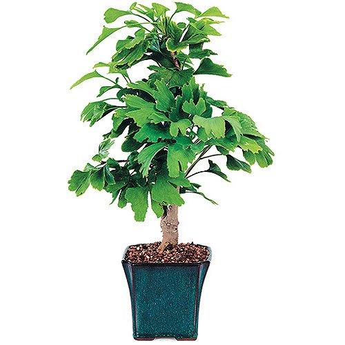 Ginkgo Bonsai Tree Walmart Com Walmart Com