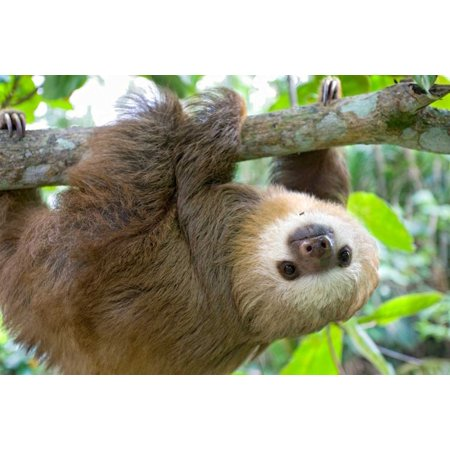 Hoffmanns Two-toed Sloth six month old orphan in tree Aviarios Sloth Sanctuary Costa Rica Poster Print by Suzi (Live In Costa Rica For 6 Months)
