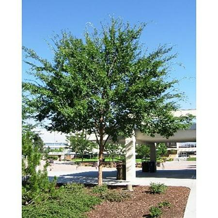 Chinese Elm Tree Seeds - Ulmus parvifolia - 25 Seeds