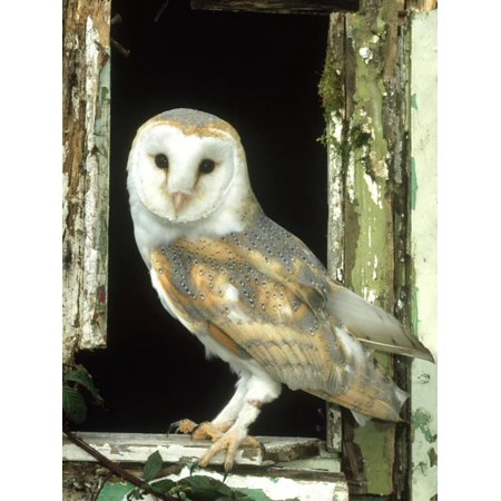 Barn Owl Perched in Old Window Frame, South Yorks Print Wall Art By Mark Hamblin ()