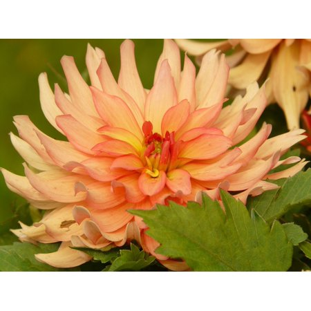 LAMINATED POSTER Grow Orange Flora Dahlia Flower Growth Plant Poster Print 24 x 36