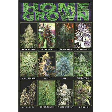 home grown marijuana varieties pot weed college poster