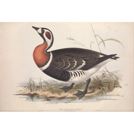 Birds Of Europe 1837 Red Breasted Goose Poster Print By  Edward Lear