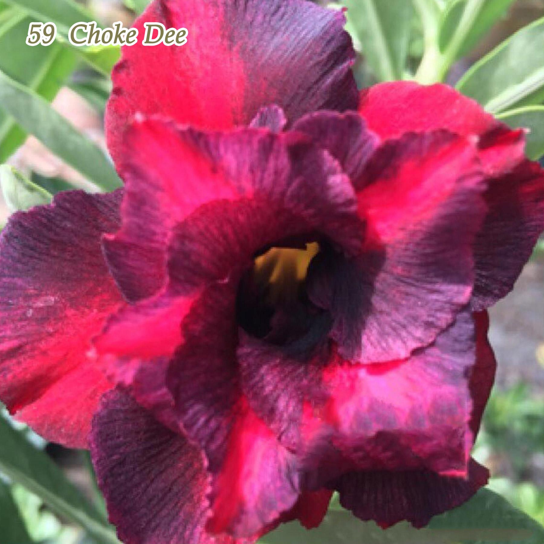 Mature Adenium Obesum Desert Rose Plants Double-flowered Easy Care Bonsai Rare