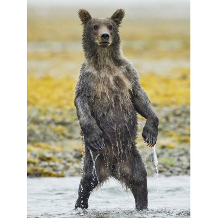 Grizzly Bear Cub Stands While Fishing , Geographic Harbor, Katmai National Park, Alaska, Usa Print Wall Art By Paul (National Harbor Com)