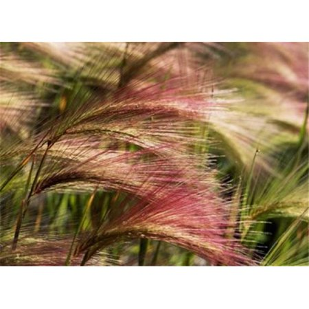 Posterazzi PDDCN01SWS0001 Foxtail Barley Banff Np Alberta Canada Poster Print by Stuart Westmorland - 33 x 24 in.