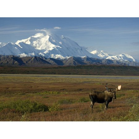 Mt Moose - Bull Moose on the Tundra with Mt. Mckinley in The Background, Alaska, USA Print Wall Art By Tom Walker
