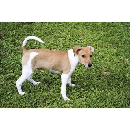 Canvas Print Pet Small Dog Jack Russell Terrier Dog Animal Stretched Canvas 10 x 14 (Jack Russell Terrier Dog Fleece)