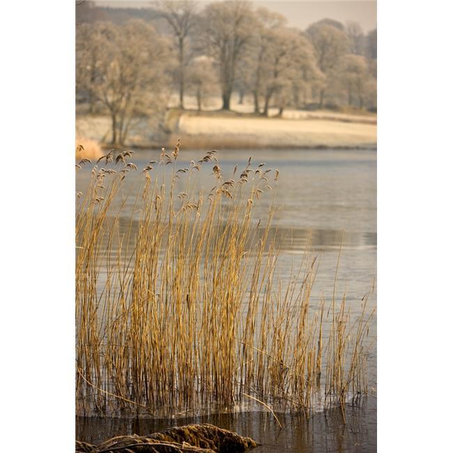 Frozen Water Around Reeds At Shoreline Poster Print, Large - 24 x 36 - image 1 de 1