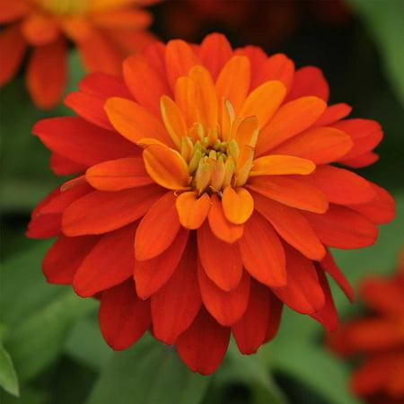 Zinnia 100 Seeds (Zinnia Flower Garden Seeds - Zahara Series - Double Fire - 100 Seeds - Annual Flower Gardening Seed - Zinnia Marylandia )