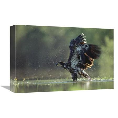 12 x 18 in. Bald Eagle Juvenile Bathing in A River, North America Art Print - Tim Fitzharris Juvenile American Bald Eagle