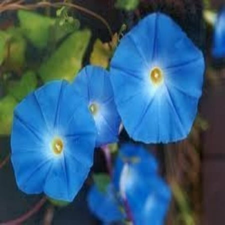 50 HEAVENLY BLUE MORNING GLORY Imopea Tricolor Vine Flower