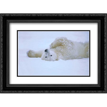 Black Rolling Frame (Polar Bear rolling in snow, Hudson Bay, Canada 2x Matted 24x18 Black Ornate Framed Art Print by Wothe,)