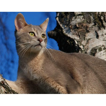 Abyssinian Kittens (Laminated Poster Blue Abyssinian Cat Kitten Kitty Kitties Cute Poster Print 24 x 36)