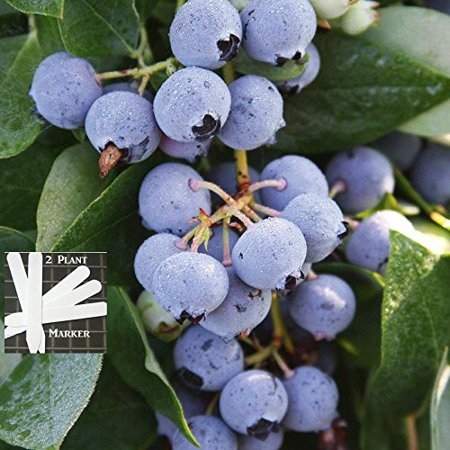 Patriot Blueberry 300+ Seeds +2 Plant Markers