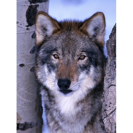 Gray Wolf Standing Between Trees, Canis Lupus Print Wall Art By Lynn M. Stone ()