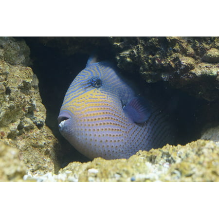 Framed Art for Your Wall Crevice Triggerfish Fish Reef Coral Reef Hidden 10x13 Frame