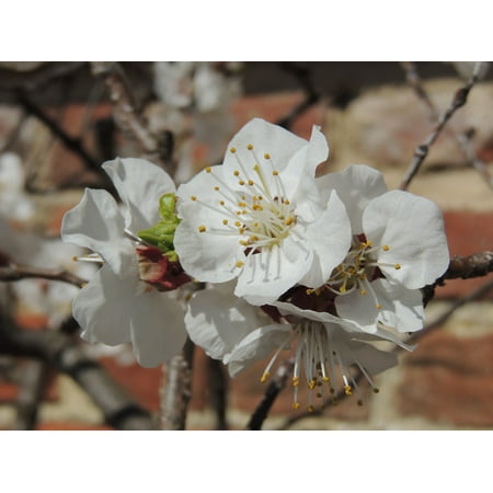 Wall Mounted Flower (Laminated Poster Cherry Flower Wall Vernon Blossom Japanese Mount Poster Print 11 x)