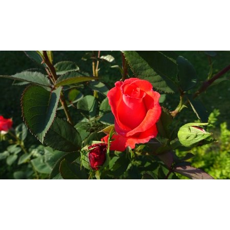Peel n stick poster of rose red rose rose blooms red roses for Rose adesive
