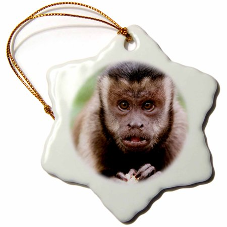 3dRose Close-up of a black-capped capuchin at Bush Babies Monkey Sanctuary. - Snowflake Ornament, 3-inch