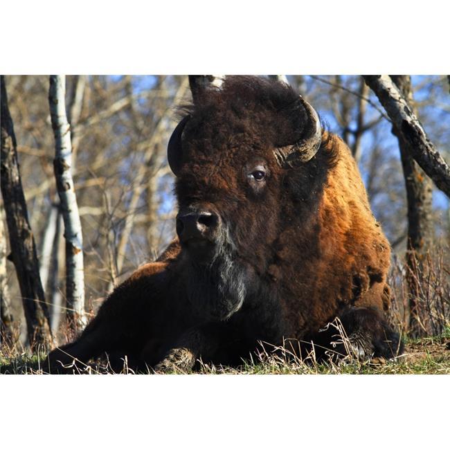 Posterazzi DPI1823017LARGE A Buffalo Resting Poster Print by Richard Wear, 34 x 22 - Large - image 1 de 1