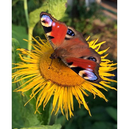 LAMINATED POSTER Butterfly Closeup Summer Flowers Flower Insects Poster Print 24 x 36