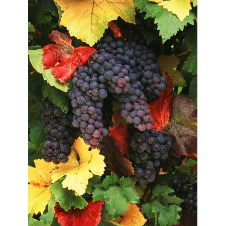View of Pinot Noir Grape, Willamette Valley, Oregon, USA Print Wall Art By Stuart