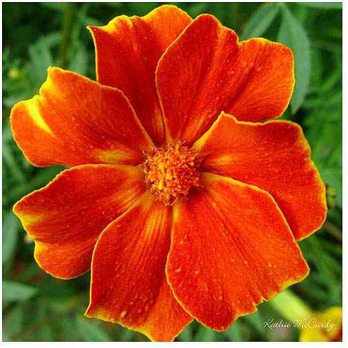 "Trademark Art ""Marigold"" Canvas Art by Kathie McCurdy"