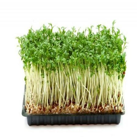 Cress, Curled Herb Seeds - Walmart.com
