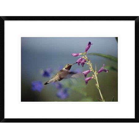 Global Gallery Broad Tailed Hummingbird Feeding On Flowers  New Mexico Framed Photographic Print
