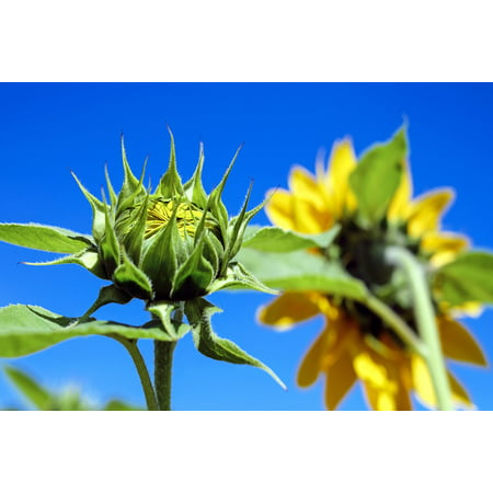Canvas Print Sunflower Field Bud Sky Going Up Sun Flower Stretched Canvas 10 x (The Sun Goes Up The Stars Go Down)