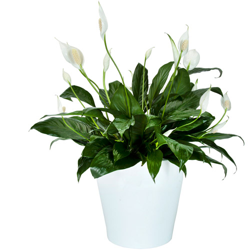 """Exotic Angel Plants 8"""" Spathiphyllum in White Colombo Pot"""