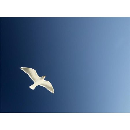 Seagull Soaring Poster Print by Con Tanasiuk, 32 x 24 - Large - image 1 of 1
