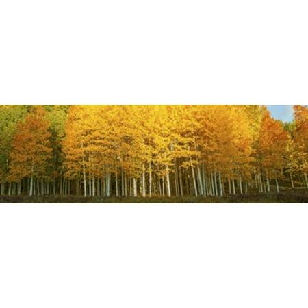 Aspen Trees In Autumn Last Dollar Road Telluride Colorado Usa Canvas Art   Panoramic Images  36 X 12