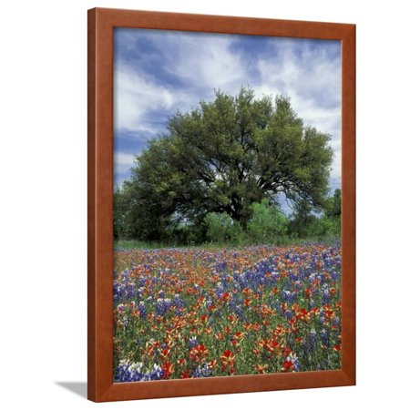 Paintbrush and Bluebonnets and Live Oak Tree, Marble Falls, Texas Hill Country, USA Framed Print Wall Art By Adam Jones (Texas Live Oak Tree)