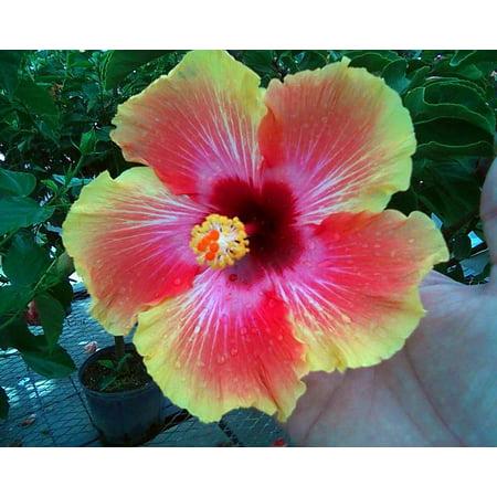 Orange Sunset Hibiscus Plant Indoors Or Out 6 Pot Walmartcom