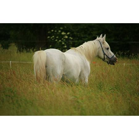 LAMINATED POSTER Thoroughbred Arabian Horse Stallion Mold Poster Print 24 x
