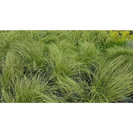 Frosted Curls Sedge Grass - Carex comans - 4