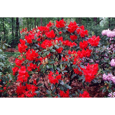 - Vulcan's Flame Rhododendron - Fire Red Blooms - 2.5
