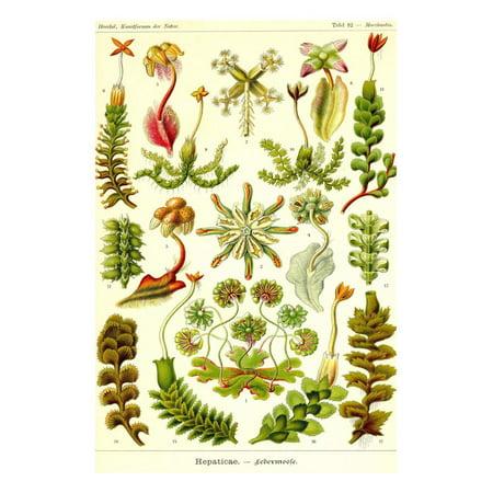 Liver Warts Print Wall Art By Ernst Haeckel (Wall Wart Adapter)