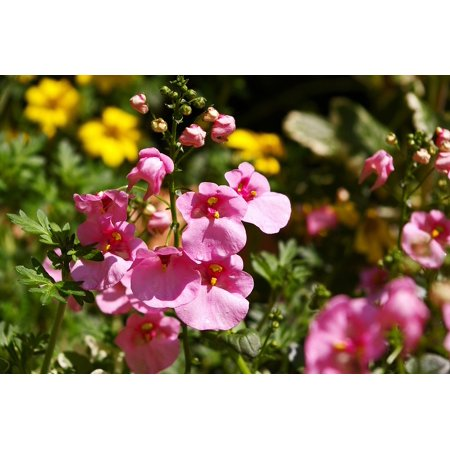 - LAMINATED POSTER Pink Terrace Plant Elf Mirror Flowering Plant Poster Print 24 x 36
