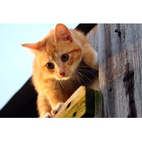 LAMINATED POSTER Red Cat Red Mackerel Tabby Kitten Young Cat Cat Poster Print 24 x 36